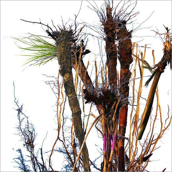 Roots (no. 1)